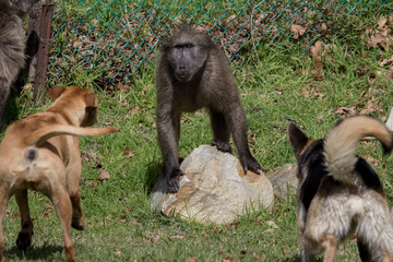 Baboon threatened by dogs