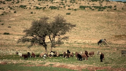 Goats grazing on the hills under a tree. In the frame includes