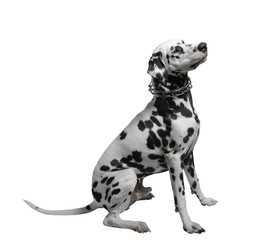 Dalmatian dog sitting isolate