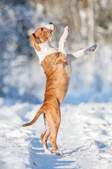 American staffordshire terrier puppy playing in winter