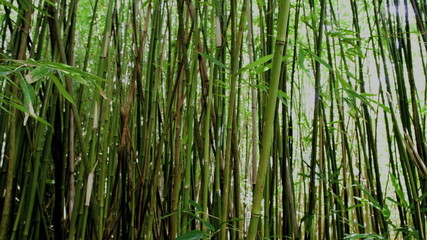 Pan of Bamboo Forest