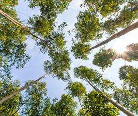 Eucalyptus with sunlight