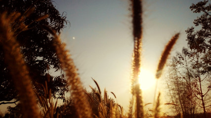 grassflowers and sunset