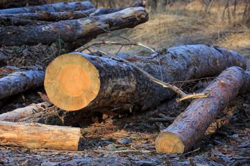 pine logs on meadow