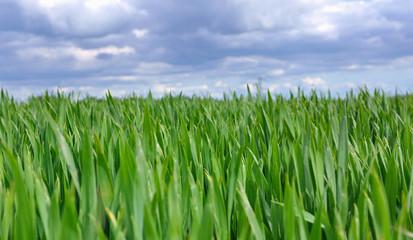 feuillage de blé sous ciel nuageux
