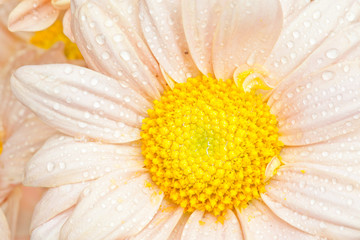 Chrysanthemums or daisy isolated on white