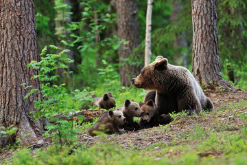 Brown bear with cubs resting in the forest