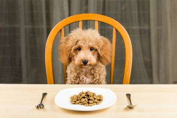 An uninterested Poodle puppy with a plate of kibbles on table