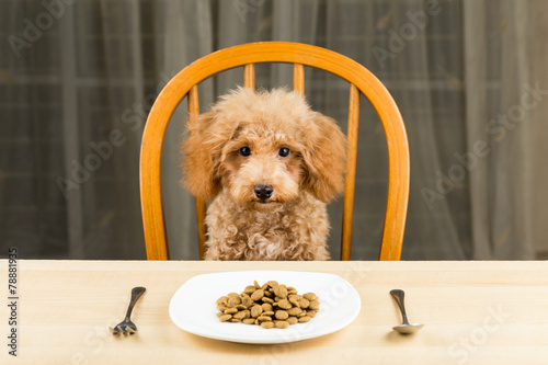 Fotobehang Hond An uninterested Poodle puppy with a plate of kibbles on table