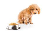 A skinny poodle puppy next to her bowl of kibbles poster
