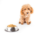 A skinny poodle puppies next to a bowl of kibbles poster