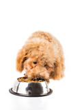 Poodle puppy eating kibbles from a bowl in white background poster