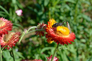 insects mating on paper daisy