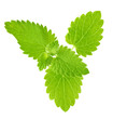 isolated fresh spearmint branch with green leaves