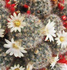Blooming cactus Mammillaria