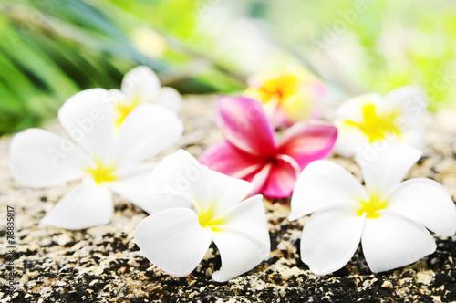 In de dag Frangipani Flowers frangipani (lat.Plumeria) closeup.