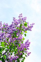 Spring blooming lilac on blue sky