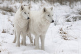 two wolfs