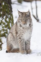 sitting lynx