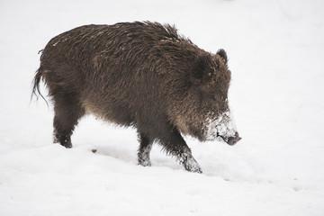 white wild boar