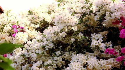Thai White and pink Bougainvilleas flowers. Video shift motion