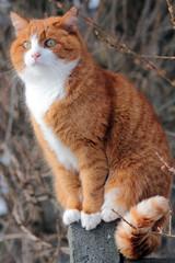 Die rote Katze auf dem Zaun