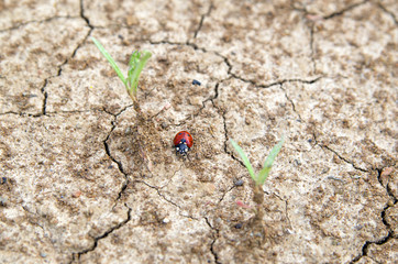 ladybug crawling on a cracked ground