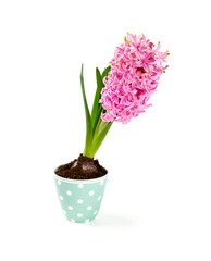 pink hyacinth in a beautiful cup isolated on white