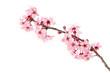 canvas print picture - Cherry Blossoms