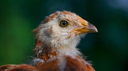 Cute Little Chicken Close-Up (16:9 Aspect Ratio)