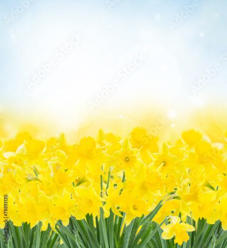 Fotobehang Narcis spring narcissus garden