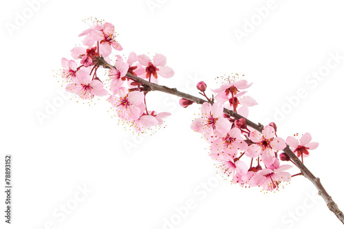 Fotobehang Bloemen Cherry Blossoms