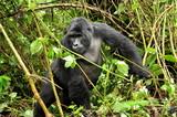 Goryl górski w Ugandzie