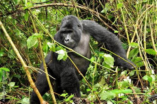 Goryl górski w Ugandzie - 78898109