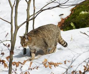 Europäische Wildkatze, Felis silvestris silvestris