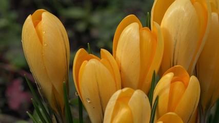 Gelbe Krokusse in der Landschaft