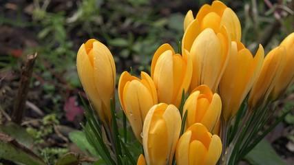 Gelbe Krokusse im Garten