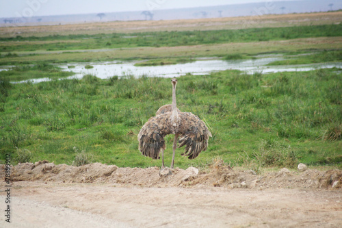 Fotobehang Struisvogel Autruche ailes déployées