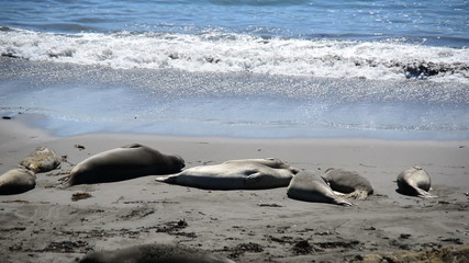 Elephant Seal Beach -  San Simeon California