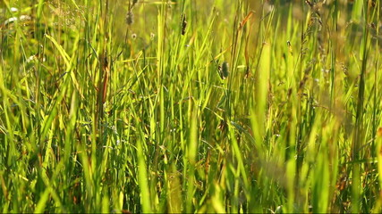 Grasshoppers in the grass, lit by the setting sun