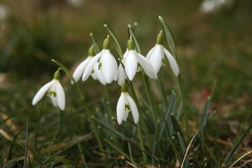 Common snowdrop (Galanthus nivalis).