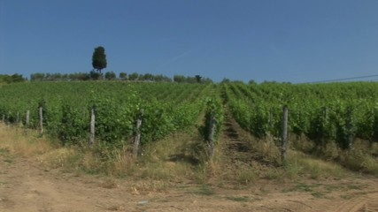 Vineyard in Tuscany with cypress