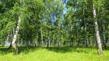 summer birch woods in Russia