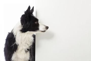 chien border Collie avec pancarte blanche