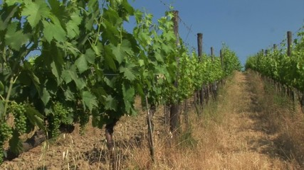 VIneyard in Tuscany with rows of vines