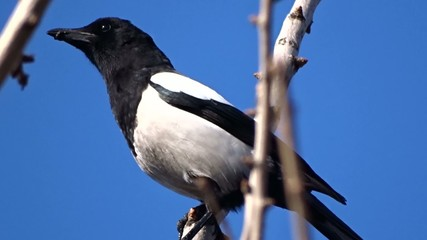 Magpie on a tree