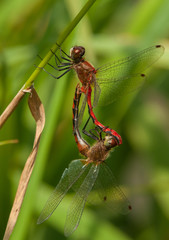 Mating White-faced Meadowhawks
