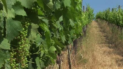 Tuscan countryside, vineyard