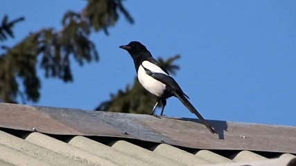 Magpie on a roof of the house