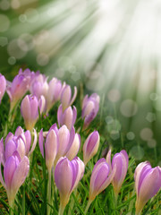 spring pink purple crocus flower abstract bokeh background
